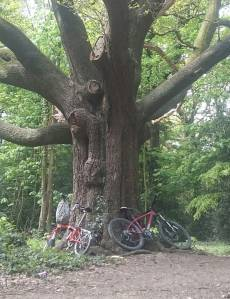 Two bicycles leaning against a large tree in the woods