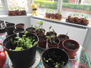 Seedlings growing in plantpots on the window ledges and table