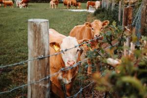 Jersey calves looking through a barbed wire fence, with more cows in the field beyon