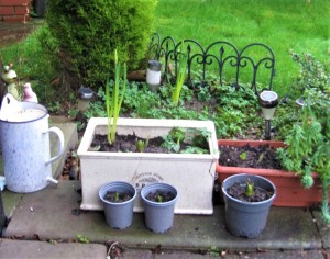 Daffodil and hyacinth bulbs growing in pots besides a lawn