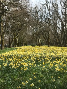 A carpet of golden daffodils stretching as far as you can see under the tall bare trees, with blue sky behind.