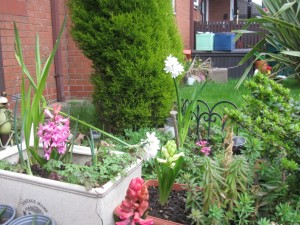 Pink and white hyacinths growing in tubs in front of an evergreen bush and a lawn.